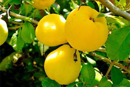Айва что за фрукт