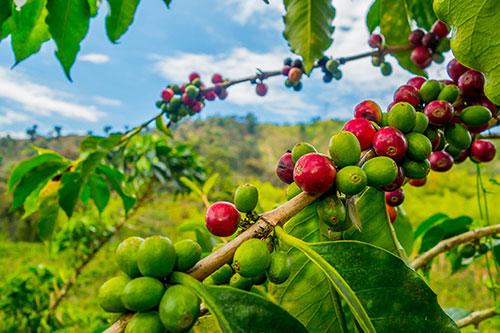 Кофе – как и где его выращивают