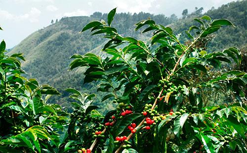 Кофе как выращивают