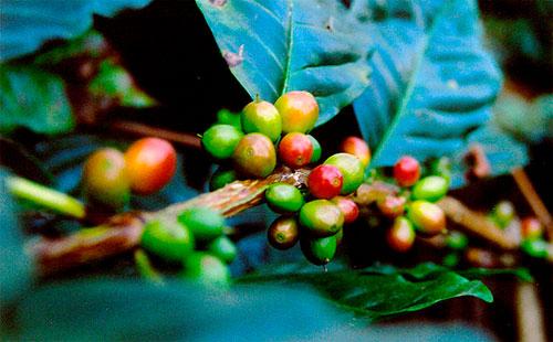 Кофе где его выращивают