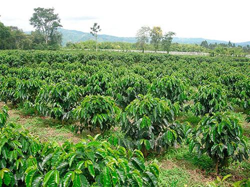 как и где выращивают кофе